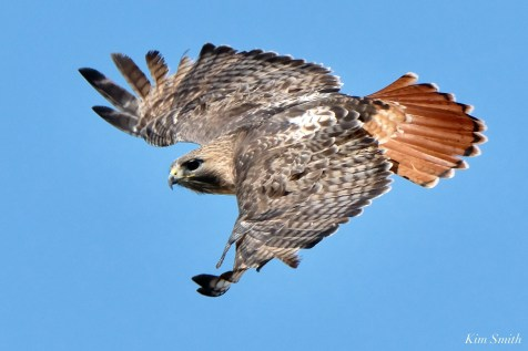 Red-tailed Hawk in Flight copyright Kim Smith - 4 of 9