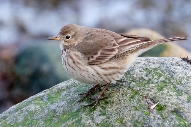 American Pipit copyright Kim Smith - 7 of 25