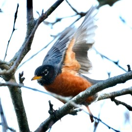 Americna Robin copyright Kim Smith - 3 of 6