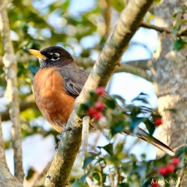 Americna Robin copyright Kim Smith - 5 of 6