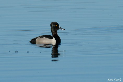 Ring-necked Duck Male copyright Kim Smith - 1 of 1