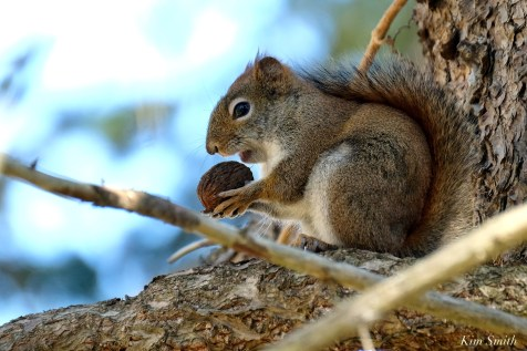 American Red Squirrel - 7 of 7