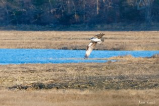 Osprey Annie Squam Lobstaland copyright Kim Smith - 3 of 9