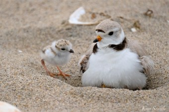 piping-plover-chicks-copyright-kim-smith-06