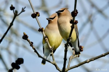 Cedar Waxwings Gloucester Massachusetts copyright Kim Smith - 1 of 9