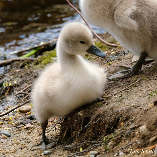Cygnets copyright Kim Smith - 12 of 28