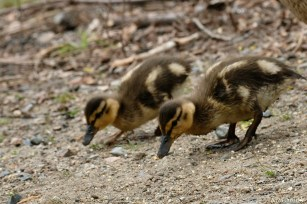 Ducklings copyright Kim Smith - 21 of 28