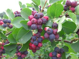 juneberries_500