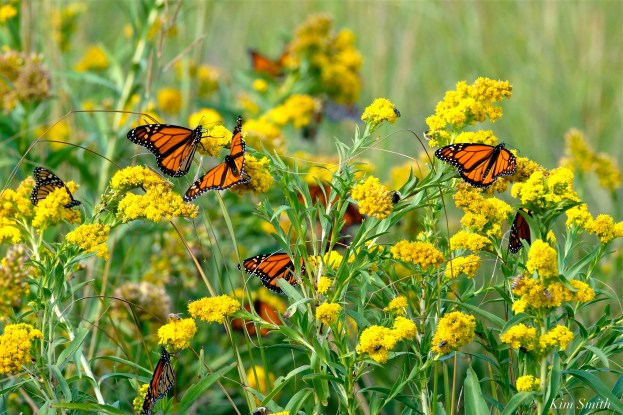 monarch-butterlflies-seaside-goldenrod-gloucester-ma-copyright-kim-smith