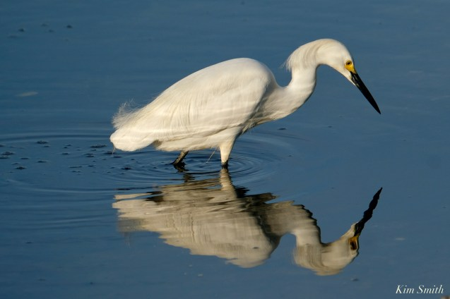 Snowy Egret Cape Ann Massachusetts copyright Kim Smith - 1 of 6