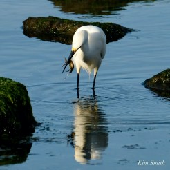 Snowy Egret Cape Ann Massachusetts copyright Kim Smith - 4 of 6
