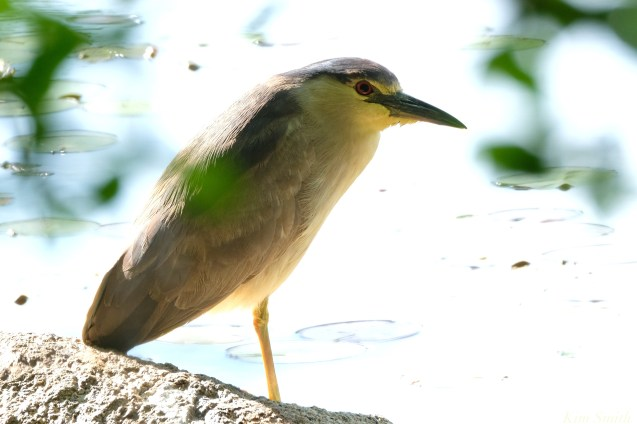 Black-crowned Night Heron Spring 2020 copyright Kim Smith - 62 of 68