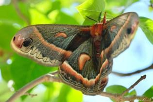 Cecropia Moth Female Giant Silk Moth copyright Kim Smith - 15 of 22