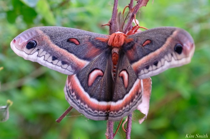 Cecropia Moth Male Giant Silk Moth copyright Kim Smith - 10 of 22