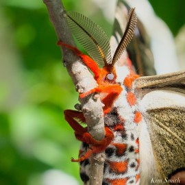 Cecropia Moth Male Giant Silk Moth copyright Kim Smith - 13 of 22