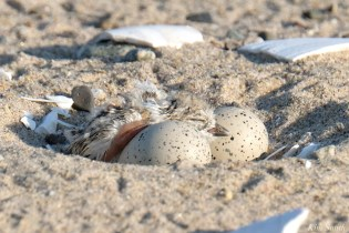 Clam Fam Day #1 Hatching copyright Kim Smith - 11 of 17