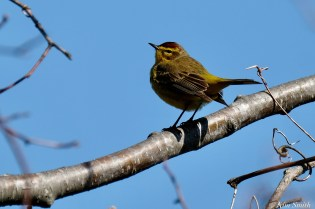 Palm Warbler Spring 2020 copyright Kim Smith - 8 of 68
