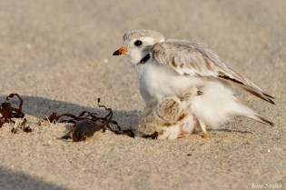 Piping Plover Clam Fam Day Hatching Day #2 Afternoon copyright Kim Smith - 22 of 52