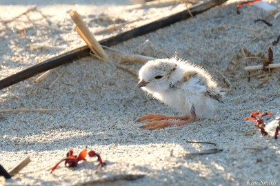 Piping Plover Clam Fam Day Hatching Day #2 Afternoon copyright Kim Smith - 32 of 52