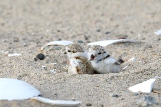 Piping Plover Clam Fam Day Hatching Day #2 Morning copyright Kim Smith - 19 of 51