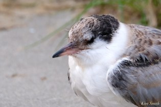Common Tern Fledgling Good Harbor Beach Gloucester copyright Kim Smith - 8 of 21