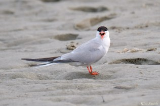 Common Tern Good Harbor Beach Gloucester copyright Kim Smith - 11 of 21