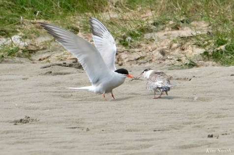 Common Tern Juvenile Adult Good Harbor Beach Gloucester copyright Kim Smith - 17 of 21