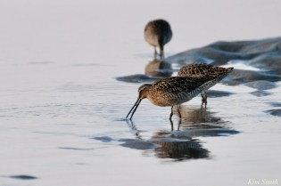 Dowitcher Good Harbor Beach Gloucester copyright Kim Smith - 1 of 28