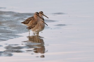Dowitcher Good Harbor Beach Gloucester copyright Kim Smith - 4 of 28