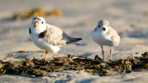 Piping Plovers 2020 copyright Kim Smith - 102 of 106