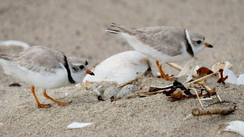 Piping Plovers 2020 copyright Kim Smith - 14 of 106