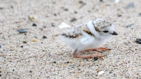 Piping Plovers 2020 copyright Kim Smith - 22 of 106
