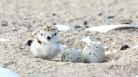Piping Plovers 2020 copyright Kim Smith - 27 of 106