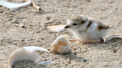 Piping Plovers 2020 copyright Kim Smith - 31 of 106