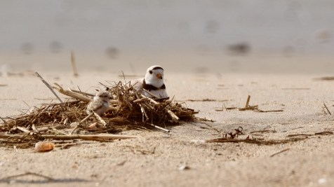 Piping Plovers 2020 copyright Kim Smith - 34 of 106