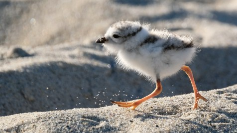 Piping Plovers 2020 copyright Kim Smith - 66 of 106
