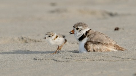 Piping Plovers 2020 copyright Kim Smith - 78 of 106