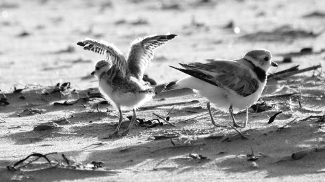 Piping Plovers 2020 copyright Kim Smith - 94 of 106