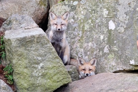 Red Fox Kits Gloucester MA copyright Kim Smith - 13 of 19