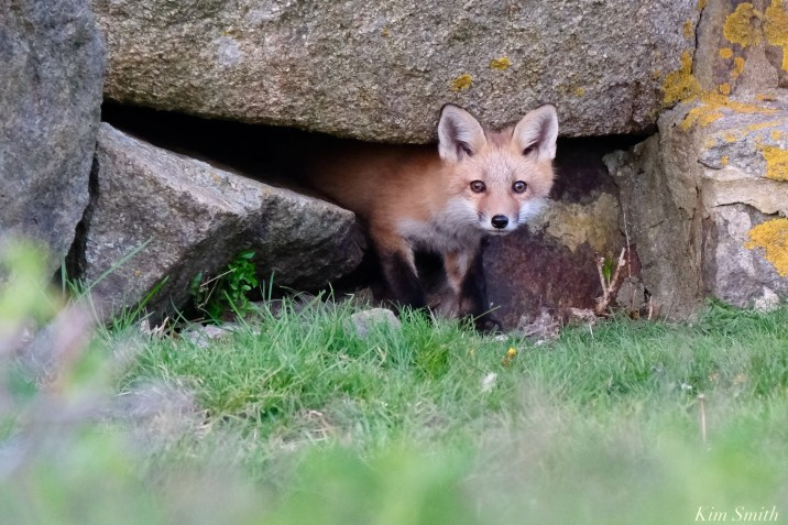 Red Fox Kits Gloucester MA copyright Kim Smith - 2 of 19