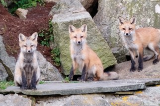 Red Fox Kits Gloucester MA copyright Kim Smith - 4 of 19