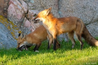 Red Fox Kits Vulpes vulpes Kim Smith - 2 of 24