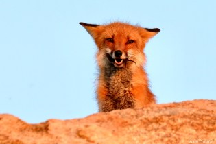 Red Fox Vixen female Gloucester MA copyright Kim Smith - 15 of 19