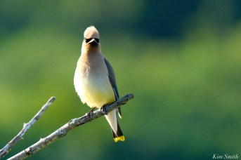 Cedar Waxwing Eastern Point copyright Kim Smith - 7 of 13