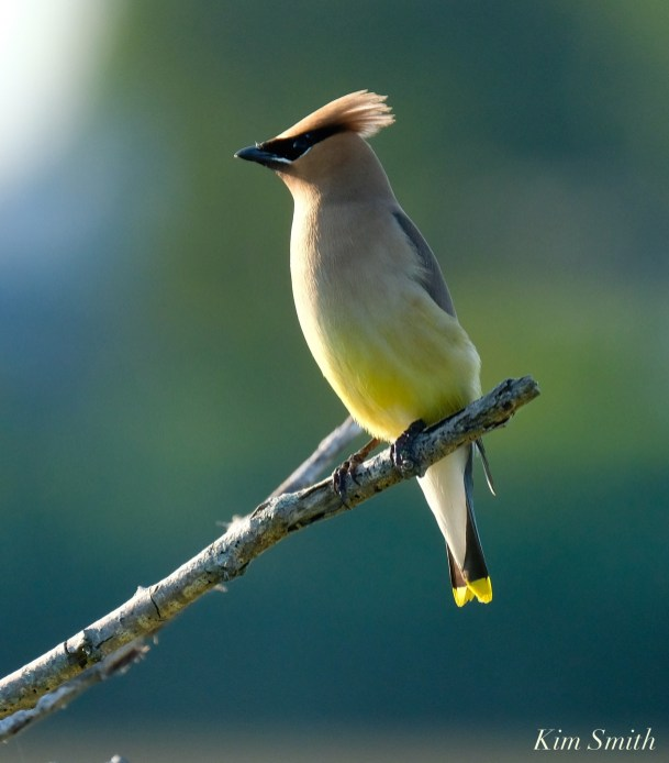 Cedar Waxwing Eastern Point copyright Kim Smith - 9 of 13