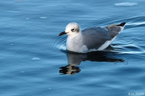 Laughing Gull Gloucester copyright Kim Smith - 3 of 20