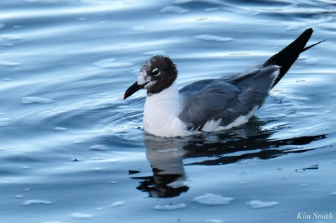 Laughing Gull Gloucester copyright Kim Smith - 4 of 20