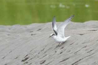 Least tern fledgling Good Harbor Beach copyright Kim Smith