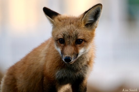 Red Fox Kits Vulpes vulpes Gloucester Kim Smith - 12 of 13