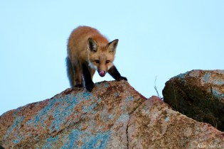 Red Fox Kits Vulpes vulpes Gloucester Kim Smith - 3 of 13